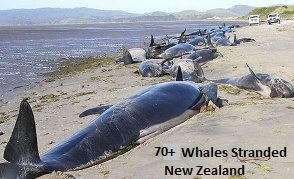 Beached Whales in New Zealand